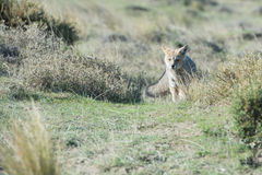 Grey fox hunting on the grass. Grey fox while hunting on the grass background stock photography