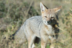 Grey fox hunting on the grass. Grey fox while hunting on the grass background royalty free stock photography