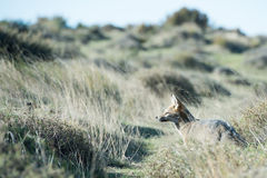 Grey fox hunting on the grass. Grey fox while hunting on the grass background stock image