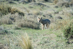 Grey fox hunting on the grass. Grey fox while hunting on the grass background royalty free stock image