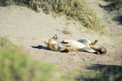 Grey fox hunting on the grass. Grey fox while hunting on the grass background stock photo