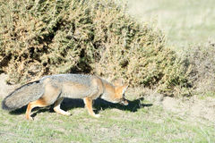 Grey fox hunting on the grass. Grey fox while hunting on the grass background royalty free stock photos