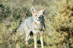 Grey fox hunting on the grass stock images