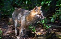Grey Fox Hunting royalty-vrije stock afbeelding