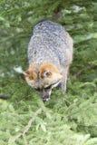 Grey Fox i träd Royaltyfri Foto