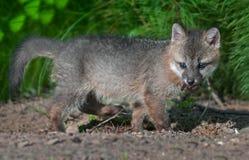 Grey Fox Kit (cinereoargenteus del Urocyon) con bocado de la carne Foto de archivo
