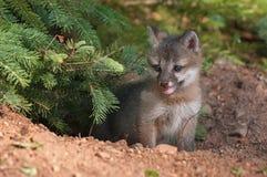 Grey Fox Kit (cinereoargenteus di urocyon) fa una pausa il pino Fotografie Stock Libere da Diritti
