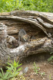 Grey Fox Kit in der Höhle Lizenzfreies Stockfoto