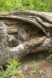 Grey Fox Kit en guarida Foto de archivo libre de regalías