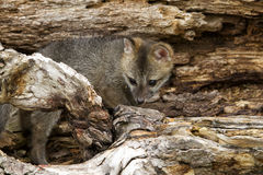 Grey Fox Kit i håla Royaltyfri Foto