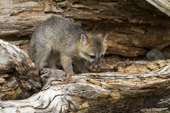 Grey Fox Kit with Mouth Open Royalty Free Stock Photos