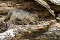 Grey Fox Kit Sheltered in Hollow Log Stock Photography