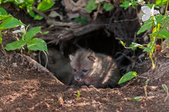 Grey Fox Kit (Urocyon cinereoargenteus) Climbs out of Den Royalty Free Stock Images
