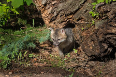 Grey Fox Kit Urocyon cinereoargenteus Come Out From Under Log Royalty Free Stock Image