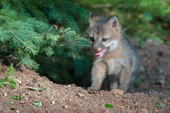Grey Fox Kit (Urocyon cinereoargenteus) Comes Out of Hole Royalty Free Stock Photos