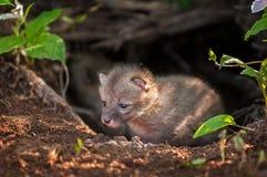 Grey Fox Kit (Urocyon cinereoargenteus) Creeps out of Den Stock Image