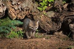 Grey Fox Kit Urocyon-cinereoargenteus geht heraus von unter L Stockfotografie