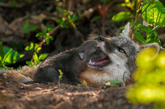 Grey Fox Kit (Urocyon cinereoargenteus) Head in Vixen's Mouth Royalty Free Stock Photo