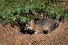 Grey Fox Kit Urocyon cinereoargenteus i hål Royaltyfri Foto