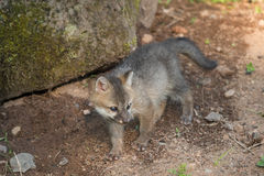 Grey Fox Kit (Urocyon-cinereoargenteus) kijkt net Royalty-vrije Stock Fotografie