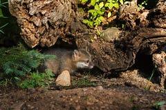 Grey Fox Kit (Urocyon cinereoargenteus) Looks Left from Hiding S Royalty Free Stock Photo