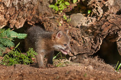 Grey Fox Kit (Urocyon cinereoargenteus) Looks Right Stock Photography