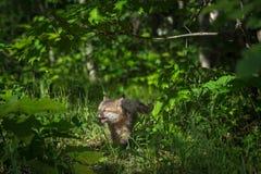Grey Fox Kit Urocyon cinereoargenteus Runs Eyes Closed Royalty Free Stock Image