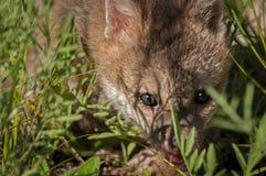 Grey Fox Kit Urocyon-cinereoargenteus schaut durch Gras Lizenzfreies Stockfoto