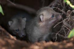 Grey Fox Kit (Urocyon cinereoargenteus) schnüffelt am Rand der Höhle Lizenzfreies Stockfoto