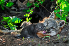Grey Fox Kit (Urocyon cinereoargenteus) Sniffs at Mother's Mouth Stock Images