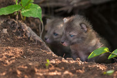 Grey Fox Kit (Urocyon cinereoargenteus) späht aus Höhle heraus Lizenzfreies Stockfoto