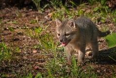Grey Fox Kit Urocyon-cinereoargenteus steht den gelassenen Raum Stockfoto