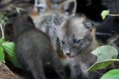 Grey Fox Kit (Urocyon cinereoargenteus) Strays from Mother in De. N - captive animal Royalty Free Stock Photography