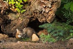 Grey Fox Kits (cinereoargenteus del Urocyon) miente por el registro Fotografía de archivo libre de regalías