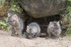 Grey Fox Kits. Cute Grey fox kits coming out of spring den Royalty Free Stock Photography