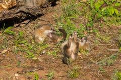 Grey Fox Kits (Urocyon cinereoargenteus) Conflict Stock Image