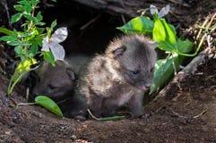 Grey Fox Kits (Urocyon cinereoargenteus) Peek out of Den Royalty Free Stock Photography