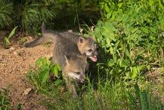 Grey Fox Kits (Urocyon cinereoargenteus) Run Through Grass Royalty Free Stock Images