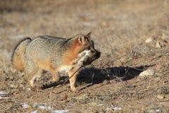Grey Fox mit Opfer Stockfotos
