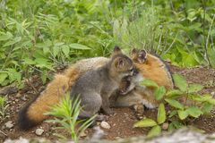 Grey Fox Mom e bambino che mostrano affetto fotografia stock libera da diritti