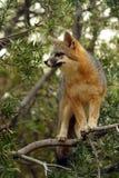 Grey Fox no olhar para fora ao estar em uma árvore fotografia de stock royalty free