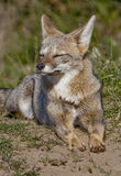 Grey Fox.Patagonia Argentina Royalty Free Stock Photography