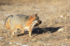 Grey fox with prey in it's mouth Royalty Free Stock Images