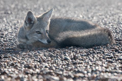 Grey fox relaxing on the beach in Patagonia Royalty Free Stock Photos