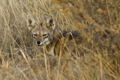 Grey fox resting down one bush Stock Images