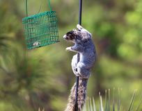 A grey fox squirrel looks for something to eat. A grey fox squirrel climbs up a bird feeder looking for something to eat stock photography