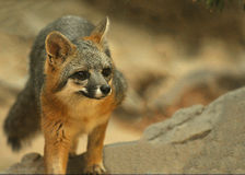 Grey Fox sveglio e curioso Immagini Stock
