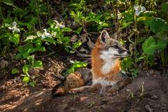Grey Fox u. x28; Urocyon cinereoargenteus& x29; Vixen schaut von der Höhle recht Stockbild