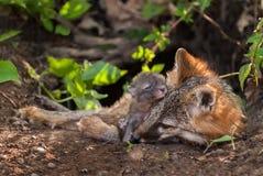 Grey Fox u. x28; Urocyon cinereoargenteus& x29; Vixen und Kit Snuggle in der Höhle Lizenzfreies Stockbild