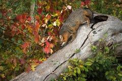 Grey Fox Urocyon cinereoargenteusäckelar loggar ner Royaltyfria Bilder